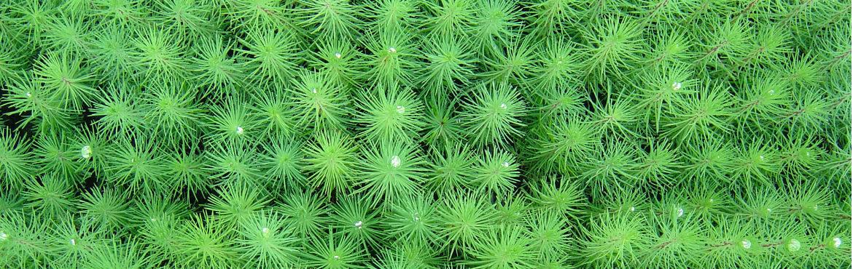 extrait de pin, polyphénols, extrait de pin pas cher, pinus pinaster, pinus radiata, pinus massoniana, gel permeation chromatography, purextract, oligopin, cosmythic, rapport qualité/prix écorce de pin